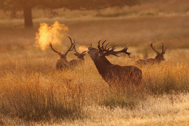 Red Deer Stag, Richmond Park, Surrey [Explored]