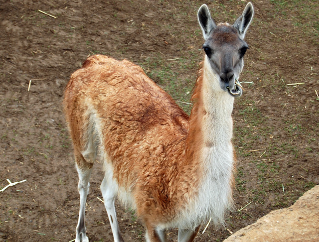 guanaco-chews - cheap san diego zoo tickets