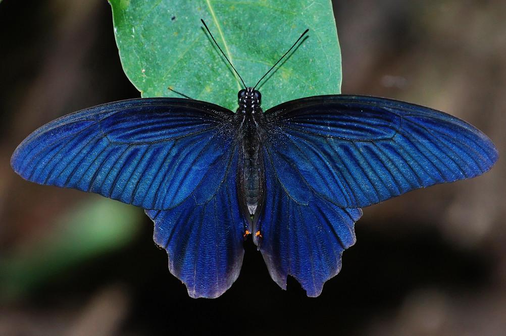 黑鳳蝶-1