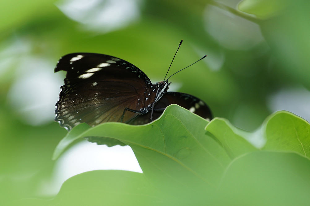 琉球紫蛺蝶-6