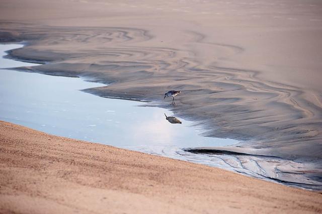 Tybee Island sandpiper