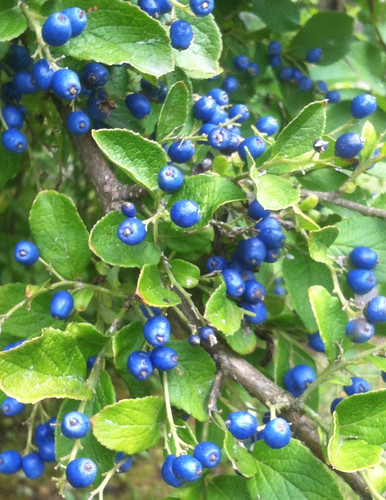 Sapphire Berries on the Branch by randubnick