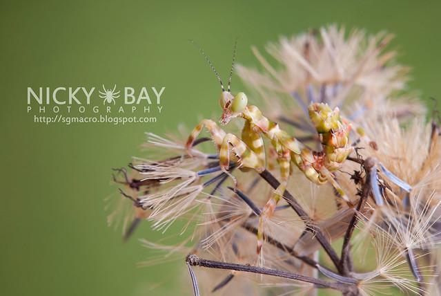 Flower Mantis (Creobotra sp.?) - DSC_5139