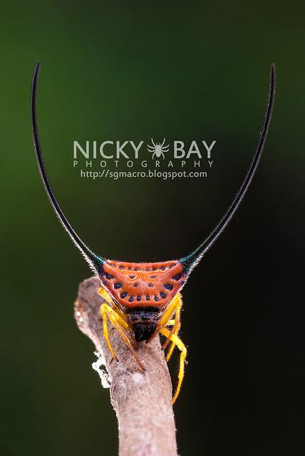 Long Horned Orb Weaver (Macracantha arcuata) - DSC_4885