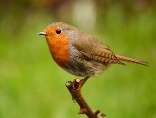 Robin by 4harmony2