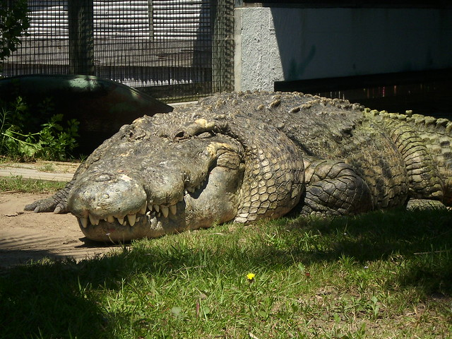Alligator Adventure Myrtle Beach Largest Crocodile