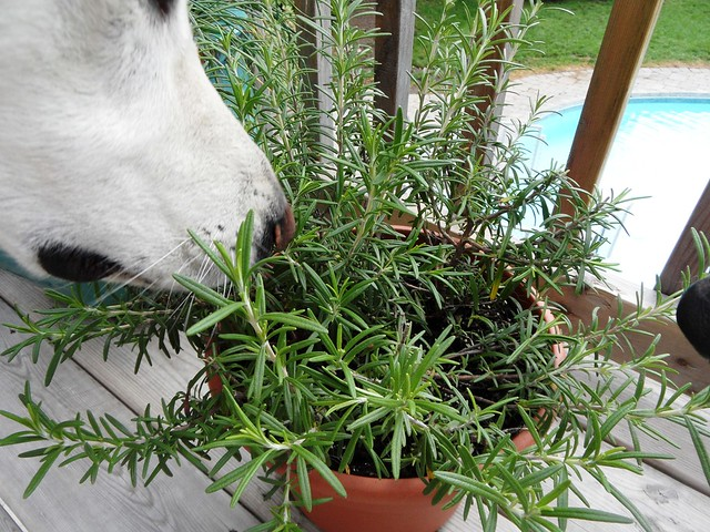 Happy & Denny smelling my Rosemary plant
