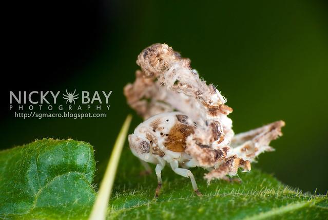 Planthopper nymph (Fulgoromorpha) - DSC_1967