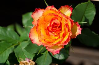96 - Rose orangée