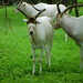 Small photo of Addax nasomaculatus