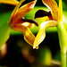 Small photo of Maxillaria embrace