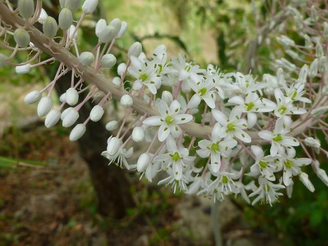piccoli fiori bianchi  Flickr - Photo Sharing!