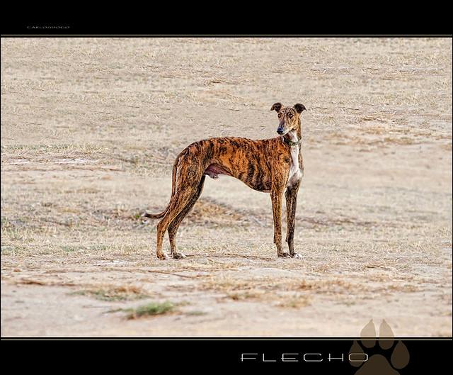 FLECHO [ GALGO ESPAÑOL ]
