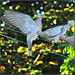 band-tailed pigeon . . .