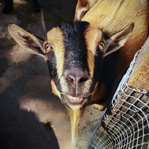 tasty goats