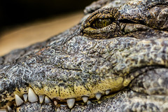 animal, crocodile, reptile, nile crocodile, macro photography, fauna, american alligator, close-up, alligator, crocodilia, wildlife,