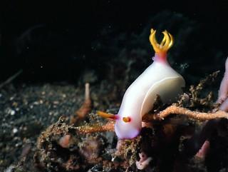 Sea Slug Hypselodoris bullocki