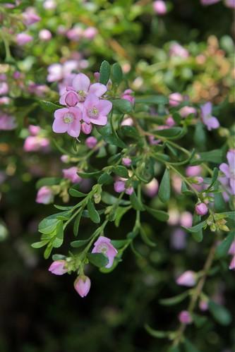 Calendrinia polyandra, Verticordia etheliana, Boronia crenulata, Lachenaultia biloba [devinette] 7989126706_c031bf4305