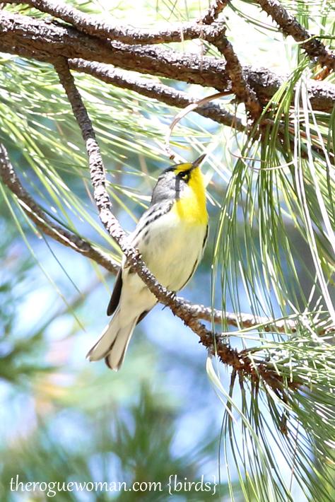 090312_09_bird_warble_gracesWarbler2
