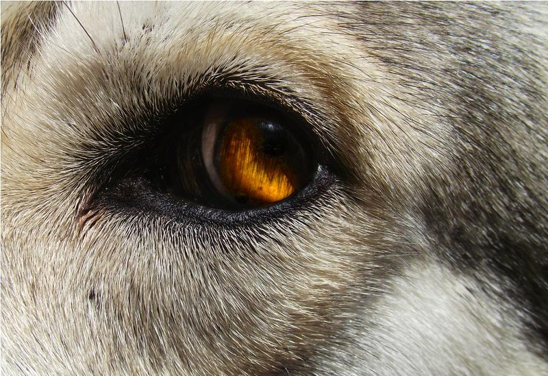 Golden Wolf Eye
