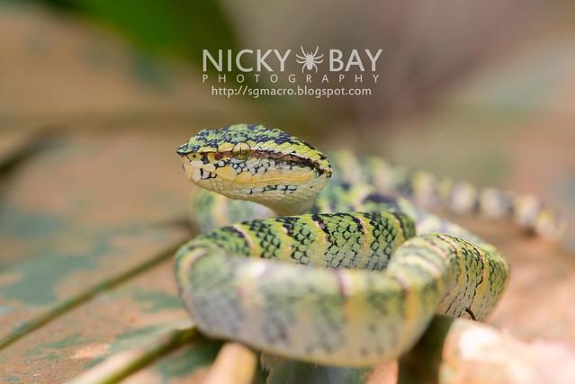 Wagler's Pit Viper (Tropidolaemus wagleri) - DSC_3878