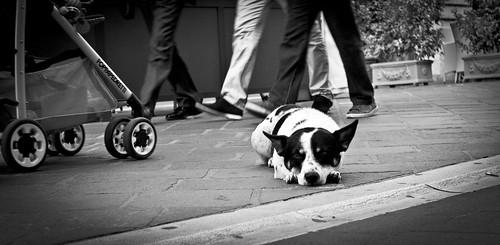 cane benevento