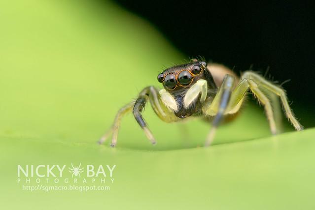 Jumping Spider (Phintella sp.) - DSC_5762