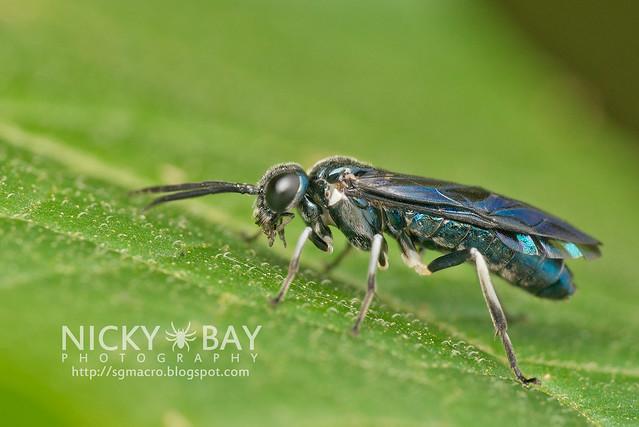 Sawfly (Tenthredinidae) - DSC_5701