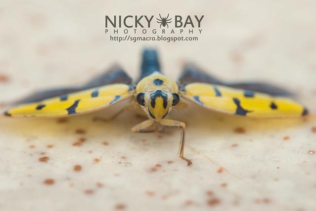 Leafhopper (Cicadellidae) - DSC_5623