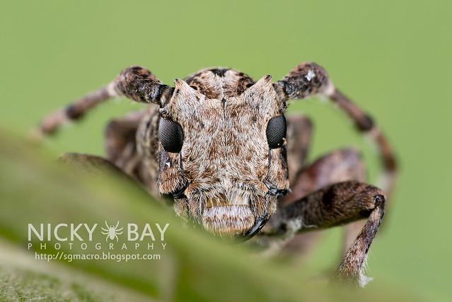 Longhorn Beetle (Cerambycidae) - DSC_5461