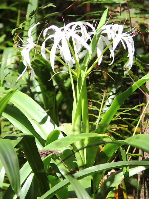 Swamp Lily 2-20120930