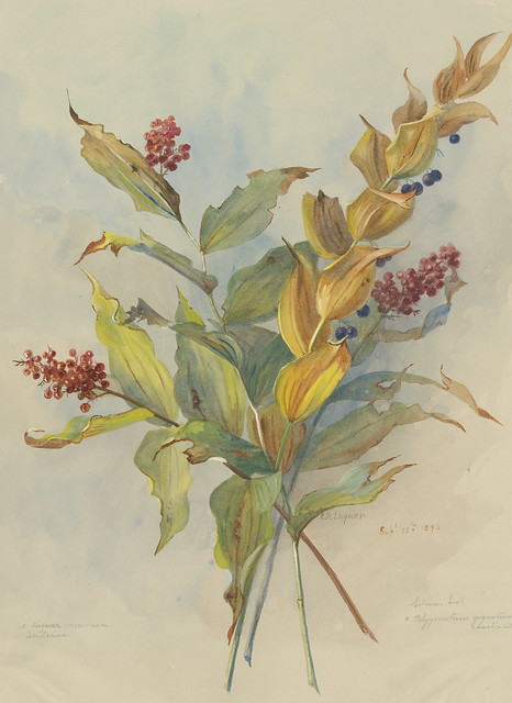 Eloise Payne Luquer, Smooth Solomon's Seal, Polygonatum biflorum, and Feathery False Lily-of-the-Valley, Maianthemum racemosum, 1896. Watercolor and gouache on paper.