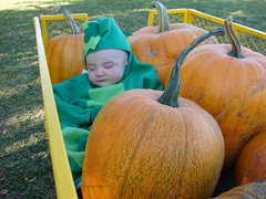 Sleeping peapod in the pumpkins 2