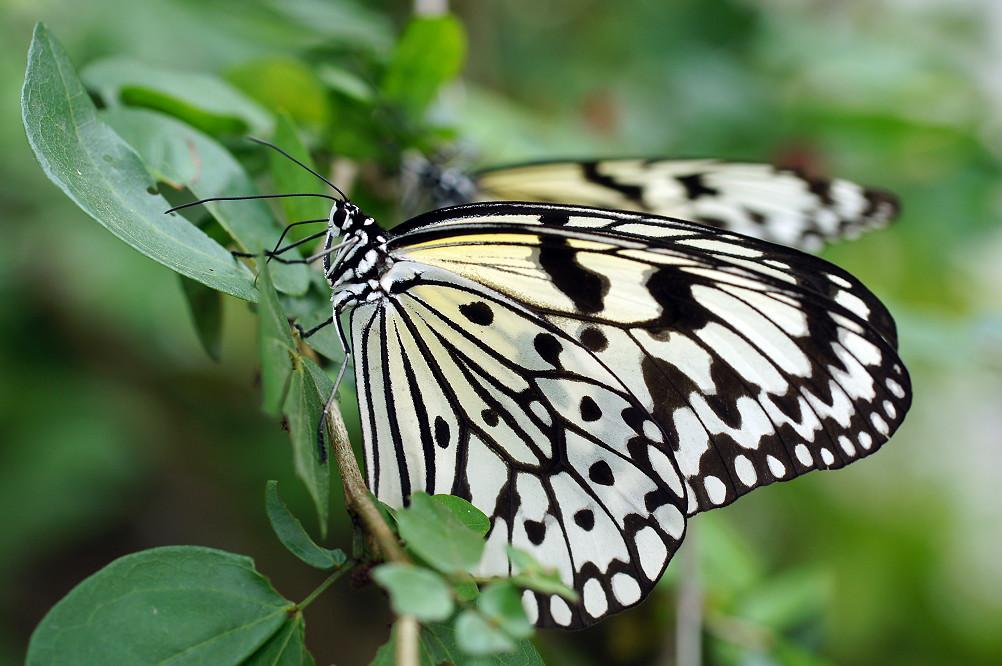 大白斑蝶-1