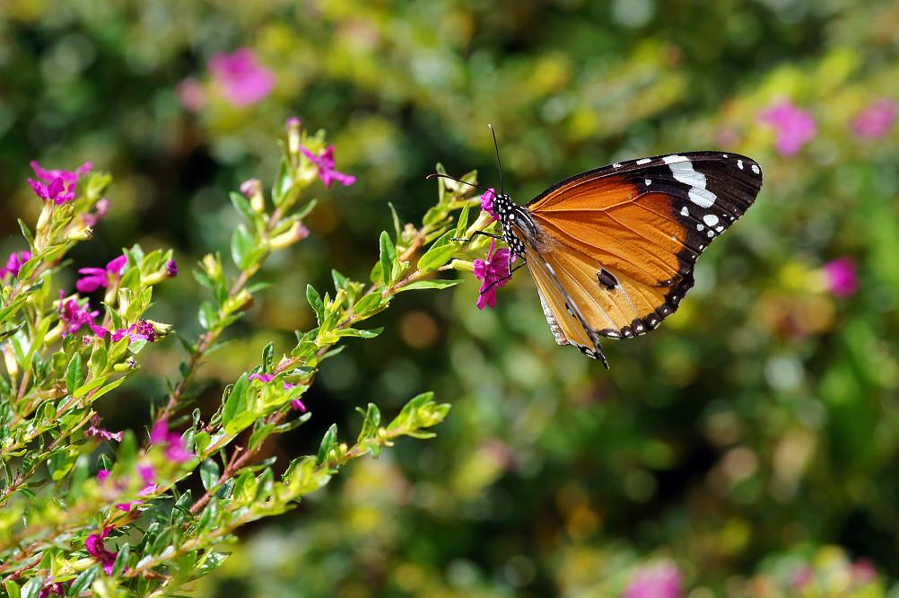 樺斑蝶-3