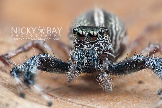 Jumping Spider (Salticidae) - i02833