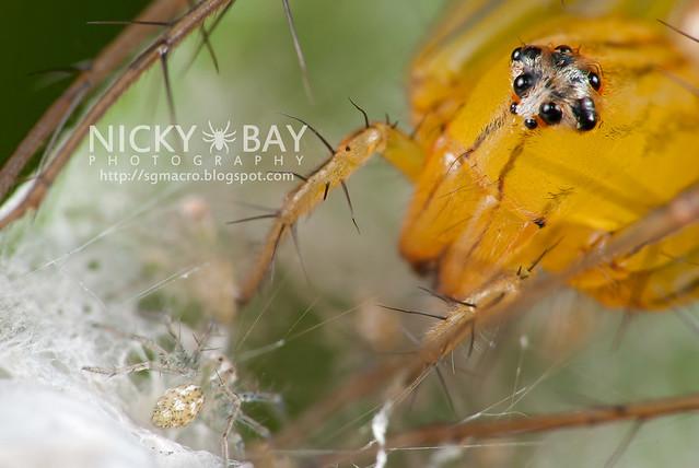 Lynx Spider (Oxyopidae) - i02719