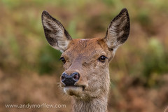 Hind Portrait (Red Deer) Full Frame