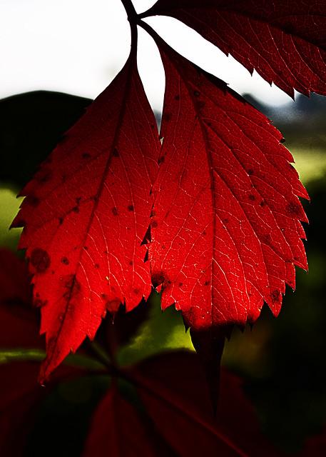 Feuille rouge -vigne vierge- en contre-jour, Parthenocissus quinquefolia