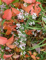 Virginia creeper and asters