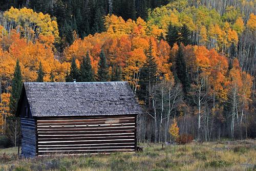 autumn trees tree colorado fallcolor aspens rockymountains aspen coloradofallcolor