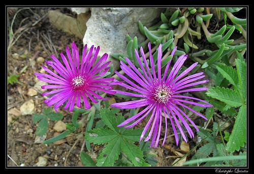 Ficoïde violet (Lampranthus calcaratus)