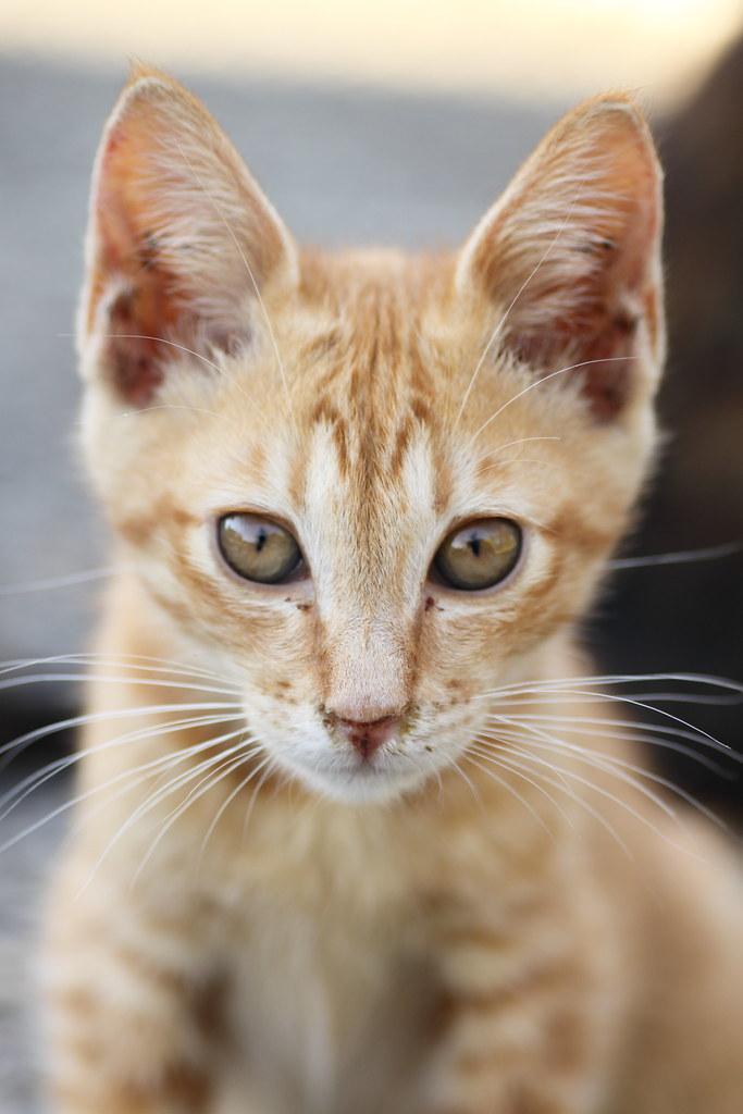 茶トラ子猫
