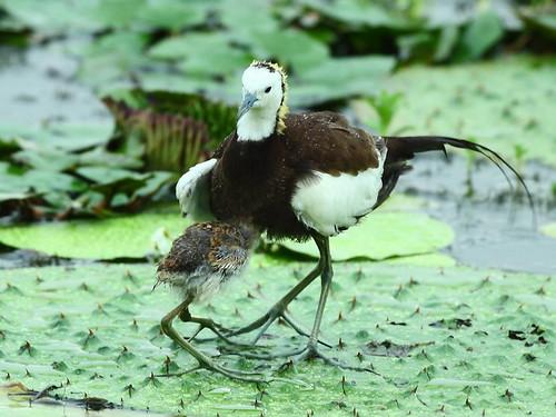 翁榮炫鏡頭下雄鳥護雛的景象。(攝影:翁榮炫)
