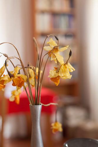 Daffodils, dried
