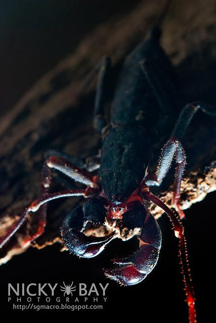Whip Scorpion (Thelyphonida) - DSC_3145