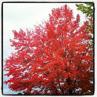#fall #foliage #leaves #red #newhampshire #love #beauty #happy #tree #sky #leaf