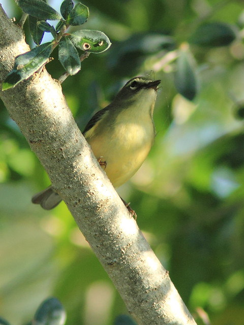 Black-throated Blue Warbler female 4-20121009