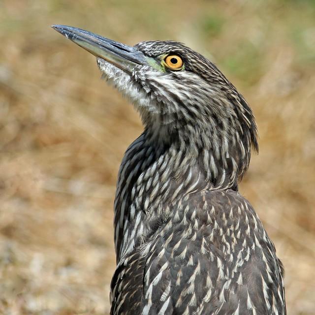 Juvenile Black Crowned Night Heron (Explored)