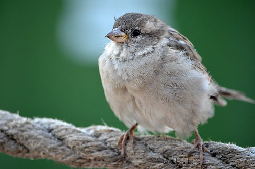 A young female House Sparrow